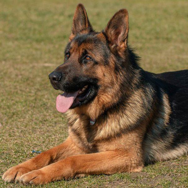 ventajas de adoptar un perro adulto